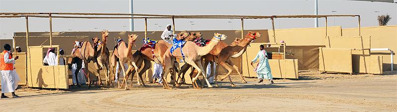 Kamelrennbahen in Al Shahaniya (Katar)