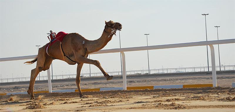 Kamel auf der Kamelrennbahn von Al Shahaniya