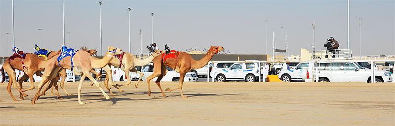 Kamelrennen auf der Kamelrennbahn von Al Shahaniya
