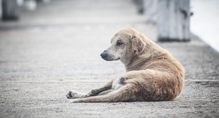 Strassenhund in Doha (Katar)